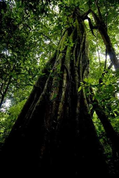 taman-negara-old-tree-3